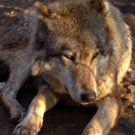 "La Casa de los Lobos ""la Maison des Loups"""