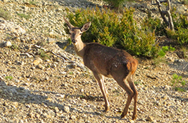La berrea del ciervo en el Boumort (2 días)
