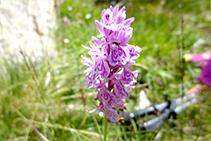 Orquídea manchada (<i>Dactylorhiza maculata</i>).