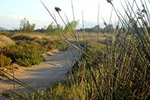 Camino entre el junco marino y vegetación dunar.