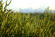 Varietad de savina adaptada a los arenales y las dunas. <i>Juniperus phoenicea varietat turbinata</i>.