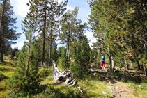 Los pinos cada vez se separan más, muestra de la altitud que vamos ganando.