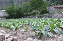 Campos de tabaco saliendo de Santa Coloma.