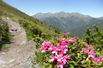 Zona de rododendro bajando hacia el collado de Montaner.