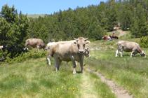 Vacas pastando en el collado de Montaner.