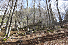 Hayedo. Al fondo se vislumbra el corte de la roca conocido como Paso del Salto del Caballo.