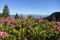 Rododendros en el llano de Prat Primer.
