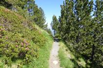Bosque de pino negro y rododendro en la vertiente umbría.