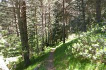 El sombrío pinar del bosque de la Caülla.