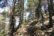 Bosque de pino rojo en el camino del Avier.
