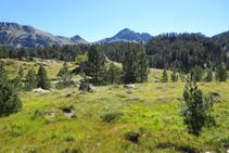 El pino negro es el gran dominador de la alta montaña.