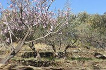 Campos de olivos con algún almendro.