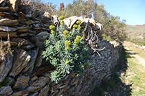Euphorbia Dendroides.