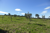 Recuperación del olivo en el Mas Sa Perafita.