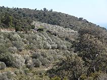 Bancales de olivos en la vertiente meridional de la Montaña Negra.