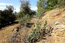 Encinar sobre terreno granítico.