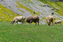 Vacas en el valle de Ordesa.