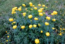 <i>Ranunculus montanus</i>, una especie tóxica.