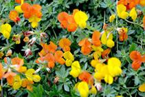 <i>Lotus corniculatus</i>.