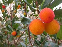 Frutos del madroño.