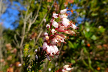 El brezo de invierno (Erica multiflora) en el encinar de collado de Jou.