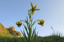 Flor de alta montaña en los prados cercanos de la Dent d´Orlu.