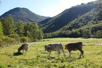 Vacas pastando en un prado cercano al Salencar.