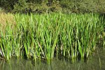 Los juncos, planta herbácea muy habitual en este tipo de ambientes naturales.