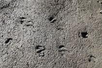 Rastros de huellas de algún mamífero.
