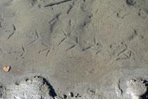 Rastros en el fango de alguna de las aves que habitan el Salencar.