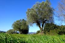 Campos de olivos en Fonteta.