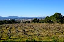 Campos de viñedo de la Denominación de Origen Ampurdán.