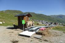 Vacas disfrutando de las pistas de esquí.