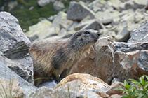 Marmota en las rocas de la vertiente N del pico de las Abelletes.