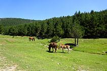 Caballos y potros en un marcado ambiente pastoril.