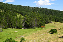 Prados, caballos y bosque de pino negro.
