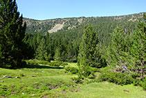 Bosque de pino negro con sotobosque de rododendro: piso subalpino.