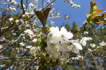 Cerezo en flor en el camino de las Pardines.