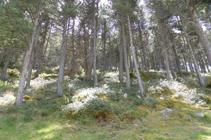 Bosque de pino negro y rododendro.