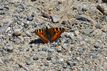 Mariposa en el camino de las Pardines.