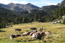Rebaño de vacas descansando.