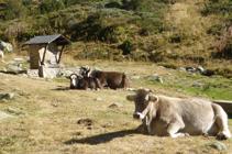 Vacas descansando en la fuente del Travenc.