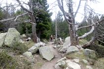 Ejemplares de pinos negros muertos, buen refugio para algunas especies de aves.