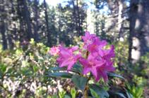 Las vistoses flores del rododendro.