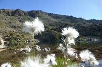 Algodoneras en el lago de Ensagents.