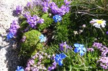 La flora de alta montaña en la cima del Alt del Griu.