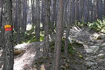 Señales amarillos y rojos del GRP que nos guían a través del bosque de pino rojo.
