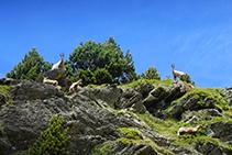Rebecos en Coms de Jan, en la cabecera del valle de Ransol.