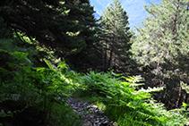 Bosque de pino silvestre y helechos.