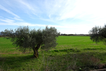 Campos de olivos.